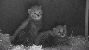 Przyszły na świat na początku października, ale dopiero teraz Śląski Ogród Zoologiczny pochwalił się małymi gepardami. Dwa małe gepardy dostały tymczasowe imiona – Malajka i Mia.
