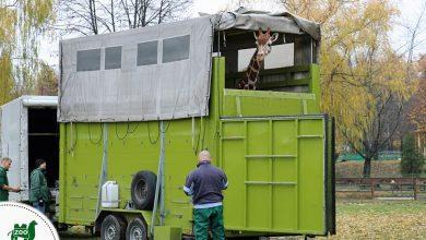 Śląski Ogród Zoologiczny. Żyrafa Luna pojechała na wycieczkę