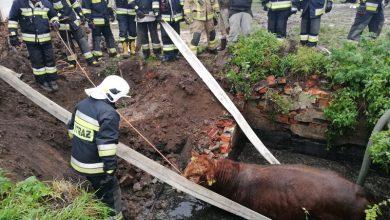Byk wpadł do szamba [ZDJĘCIA] Uratowali go strażacy (PSP w Braniewie)