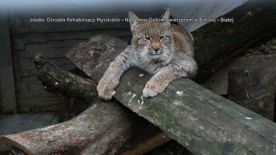 Młody ryś trafił pod opiekę Ośrodka Rehabilitacji Mysikrólik – Na Pomoc Dzikim Zwierzętom w Bielsku – Białej po tym, jak jego matka zginęła pod kołami samochodu