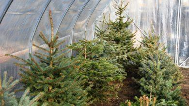 Daj choince nowe życie. Akcja zbierania poświątecznych drzewek trwa (fot. UM Bytom)