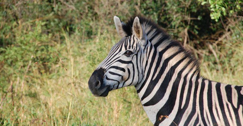 Zebra spacerująca po ulicy. Nietypowa interwencja policjantów (fot.poglądowe/www.pixabay.com)