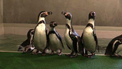 Do ZOO w Chorzowie po ponad 40 latach wróciły pingwiny!