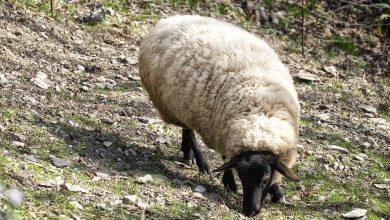 Ponad 400 kóz i 150 owiec pojawi się na Wyżynie Krakowsko-Częstochowskiej. [fot. www.pixabay.com]