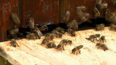 Katowice: 40 tysięcy pszczół na dachu NOSPR!