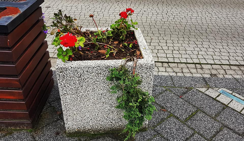 Jaworzno: ktoś zniszczył kwiatki na rynku. Okazało się, że to... kuny. Fot. MZDiM Jaworzno