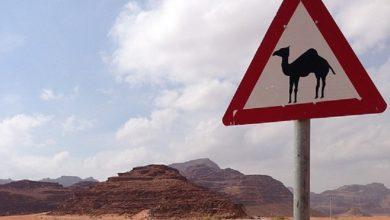 Mandat za jęzdę na wielbłądzie po autostradzie? To możliwe! Oto TOP 10 absurdalnych przepisów drogowych