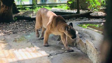 Puma Nubia znajduje się już w chorzowskim zoo. [fot. Łukasz Litewka FACEBOOK]