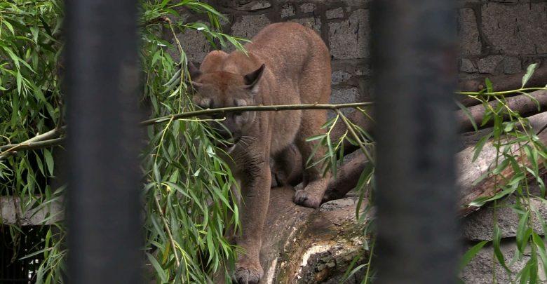 Jest ugoda w sprawie pumy Nubii! Puma zostaje w ZOO w Chorzowie!