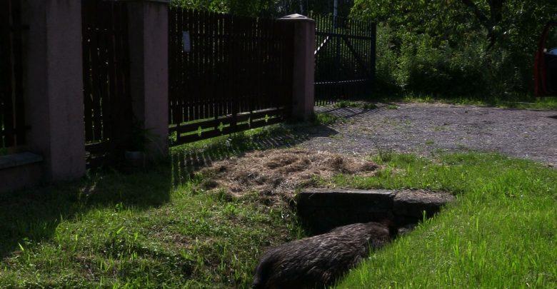Gnijące zwłoki dzika pod posesją. Przez 2 dni mieszkańcy domu jednorodzinnego zlokalizowanego przy ul. Odkrywkowej w Będzinie nie mogli się doprosić o usunięcie martwego dzika