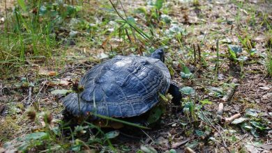 Drapieżny żółw z USA złapany w Polsce! [ZDJĘCIA]. Fot. FB/Nadleśnictwo Suwałki