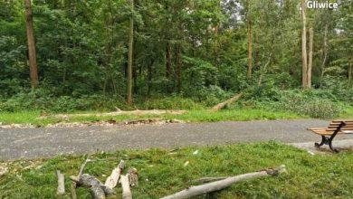 Tragedia na osiedlu Kopernika w Gliwicach. Drzewo przygniotło kobietę, przechodzącą deptakiem w rejonie ulicy Toszeckiej! (fot. KMP Gliwice)