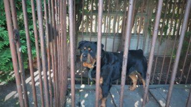 Rottweiler Rambo znalazł dom dzięki policji. Fot. Śląska Policja