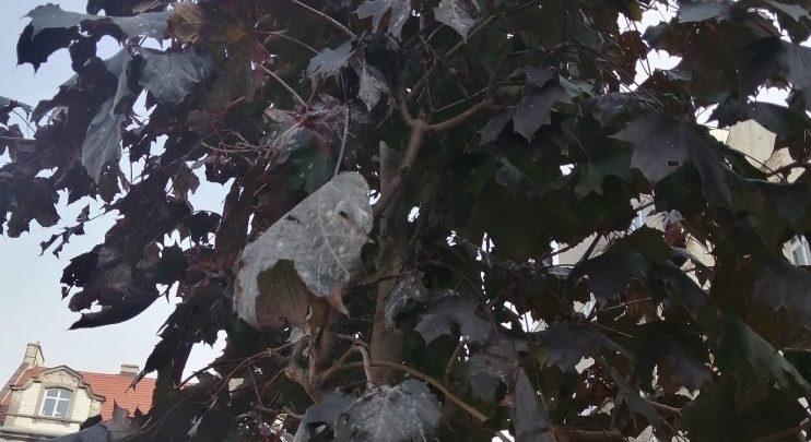 Drzewa w Bytomiu idą do leczenia. Zajmą się nimi specjaliści (fot. UM Bytom)