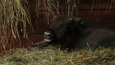 Wymyśl imię dla żubra. Najmłodsza członkini stada w Pszczynie ma nieco ponad 3 miesiące