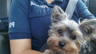 Nietypowych rozmiarów, jak na policyjne standardy, pies podróżował radiowozem po Gliwicach. Nie był to pupil żadnej z policjantek patrolu, a york - zabłąkana zguba (fot.KMP Gliwice)