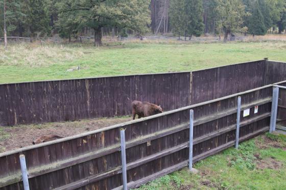 Żubry ze Śląska pojechały na wakacje! Zwierzęta są już na Półwyspie Iberyjskim (fot. Lasy Państwowe w KAtowicach)