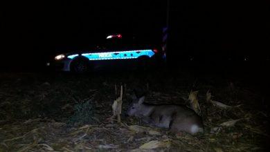 """Gliwiccy policjanci zaopiekowali się potrąconą """"Baśką"""" (fot.Policja Gliwice)"""
