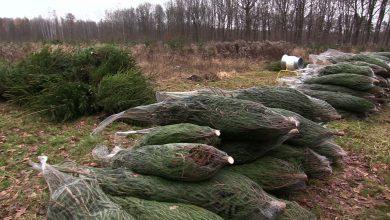 Trudno wyobrazić sobie święta Bożego Narodzenia bez choinki. Wielu z nas w tym czasie staje przed dylematem: sztuczna czy prawdziwa od leśników, a może prosto z lasu?