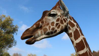 Żyrafa maskotką World Athletics Relays Silesia 21. Do zawodów pozostało 150 dni