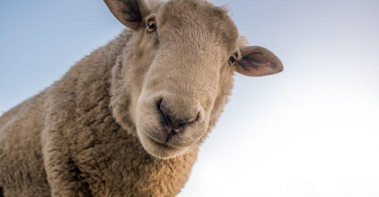 Owce na Śląsku mają się dobrze. Marszałkowski program Owca Plus rozpisany do 2027 roku (fot.pixabay.com)