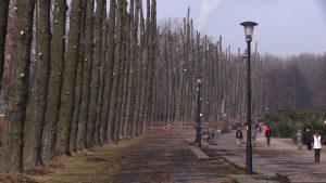 Trwa wycinka drzew w Parku Śląskim. Znikają topole wzdłuż promenady Jerzego Ziętka