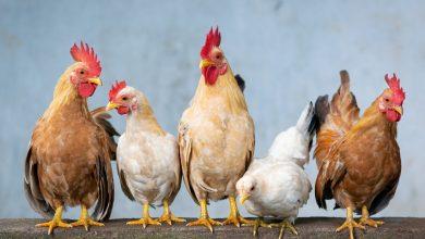 Ptasia grypa w Tarnowskich Górach! Jakie są objawy wysoce zjadliwej grypy ptaków?