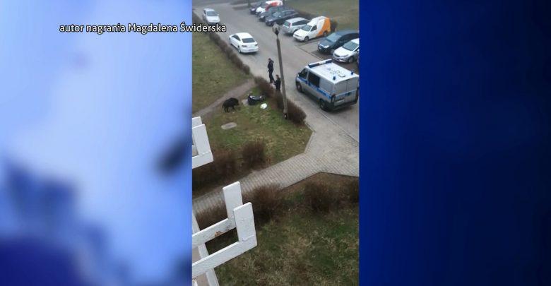 Dwie osoby ranne w Zabrzu po ataku oszalałego dzika! Nawet policja była bezsilna