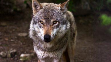 Wilki w okolicach Bielska! Miasto apeluje o ostrożność. Fot. pixabay.com