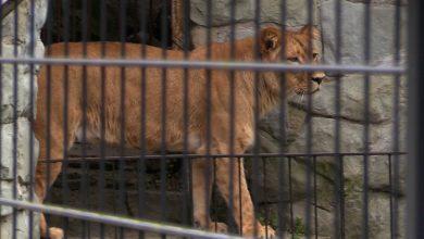 Chorzowskie zoo ma nową lwicę. To Annona