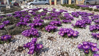 Wiosennie na skwerach w Rybniku, pomimo tego, co dzieje się za oknem (fot.UM Rybnik)