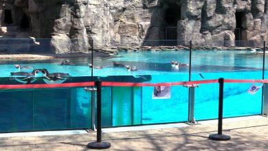 Wcześniej nie, bo było za zimno. Chorzowskie pingwiny znowu cieszą wszystkich na wybiegu!