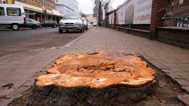 Katowice: Prokuratura umorzyła postępowanie ws. wycinki 100-letnich kasztanowców
