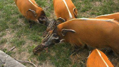 Pumba, Mela i Jagoda. To rodzice ośmiu małych, słodkich świnek z ZOO w Chorzowie