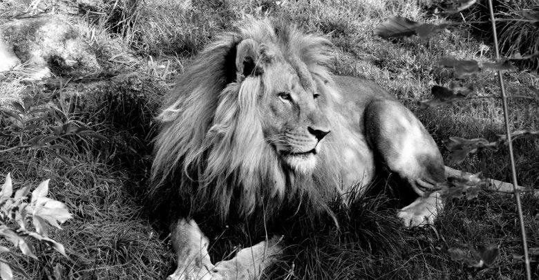 Nie żyje Bolek – lew ze Śląskiego Ogrodu Zoologicznego. Miał 6 lat. Fot. FB/Śląski Ogród Zoologiczny