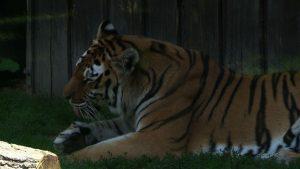 Dzień Tygrysa w chorzowskim ZOO miał dzisiaj podwójny wymiar