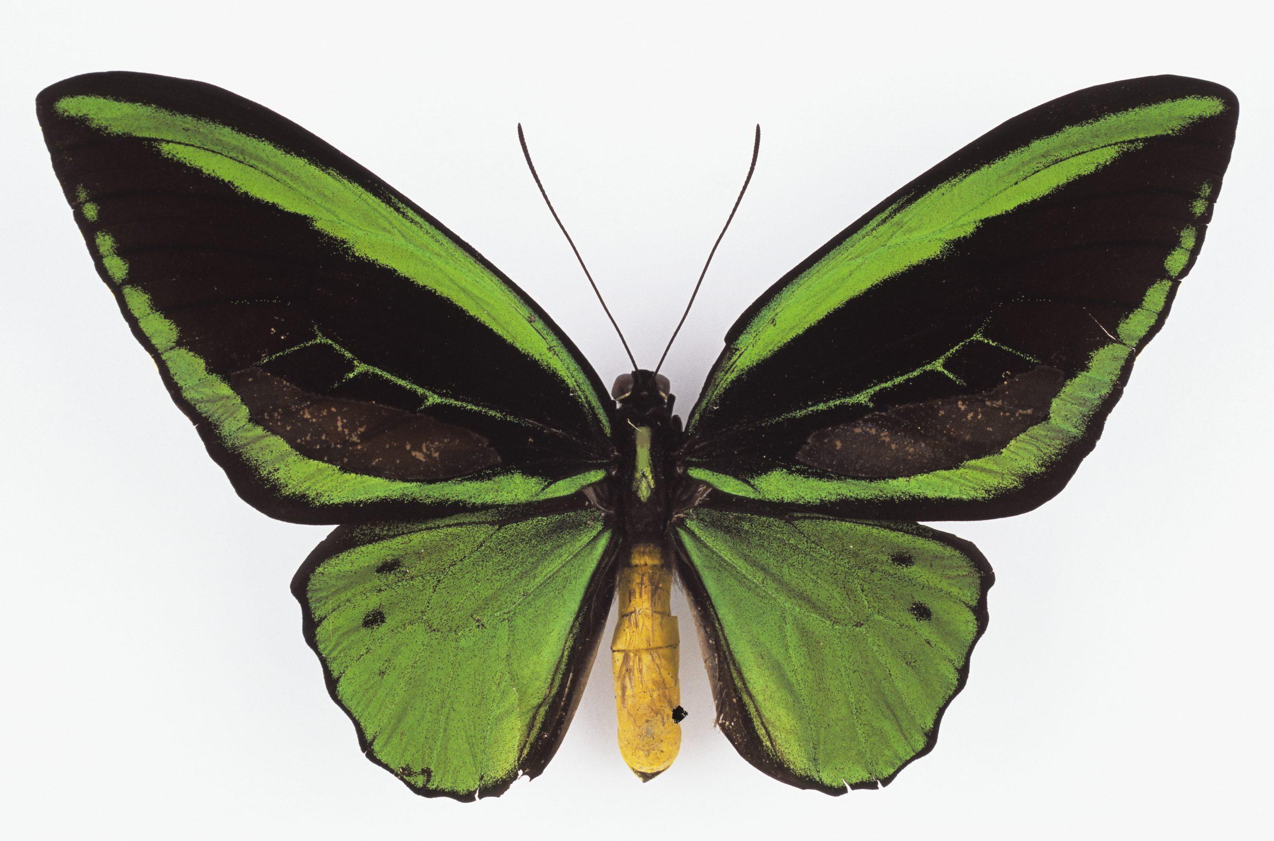 Fot. 2_ Ornithoptera priamus ssp. poseidon, Papua Nowa Gwinea